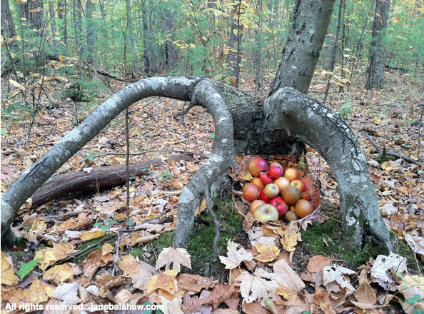 apples in tree trunk 2