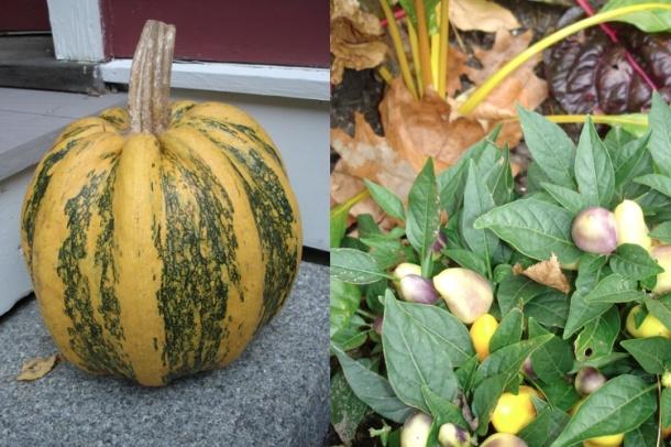fall pumpkin:pepper; janebalshaw.com