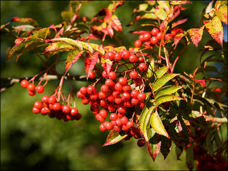 autumnberries_geraldmajum_4_470x352