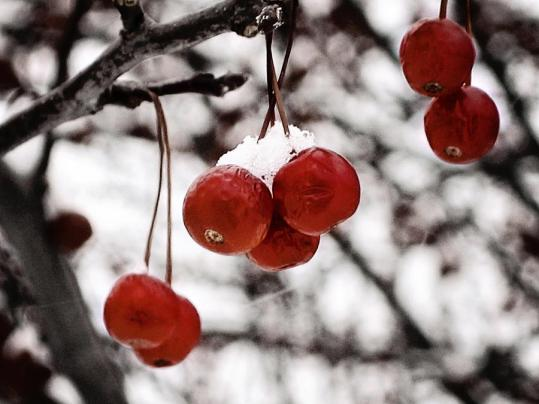 red-winter-berries-laura-kinker